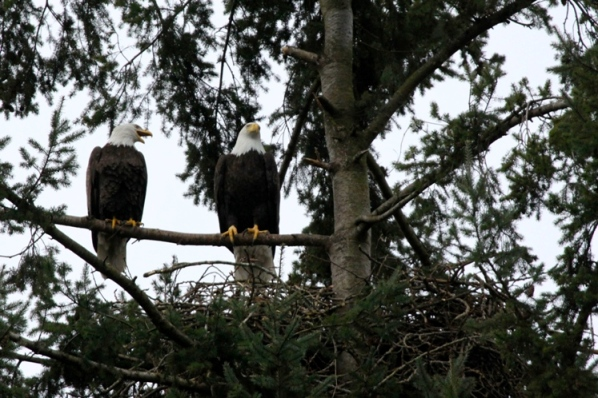 Bald Eagle Pair. The Sanctuary, Hastings Park (H.D. Cooper February 2015)