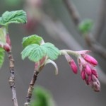 Flowering Red Currant. Sanctuary at Hastings Park (H.D. Cooper, March 2015)